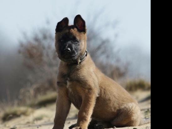 Blackjack dog