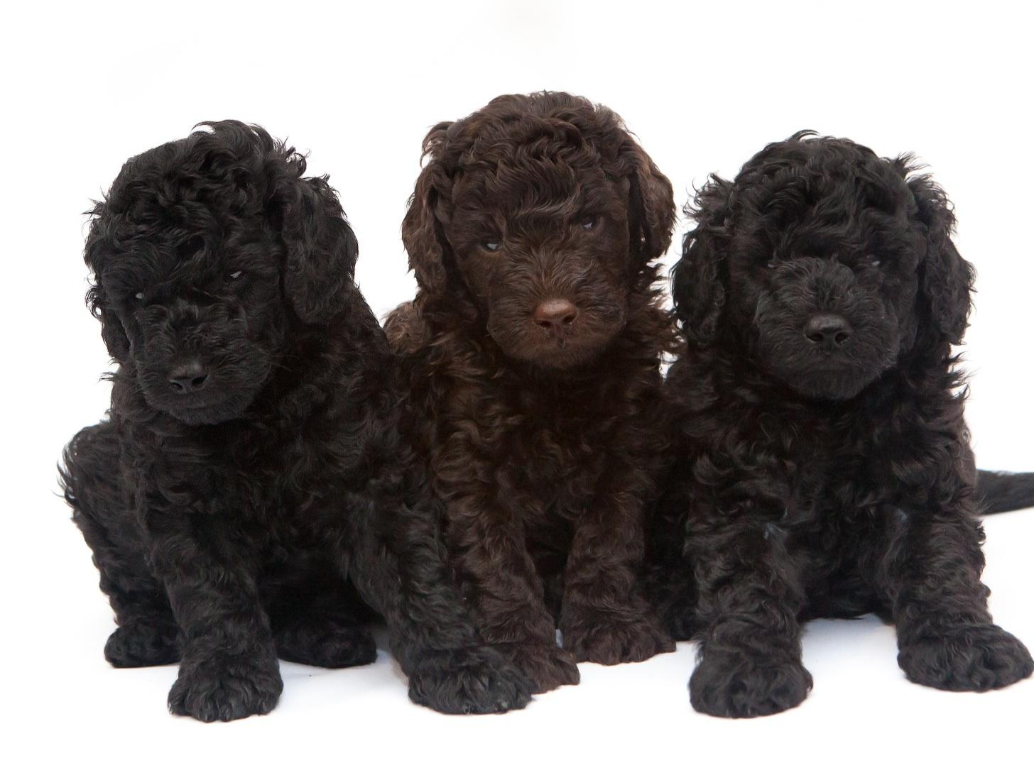 Standard Poodle Breeders Virginia Beach