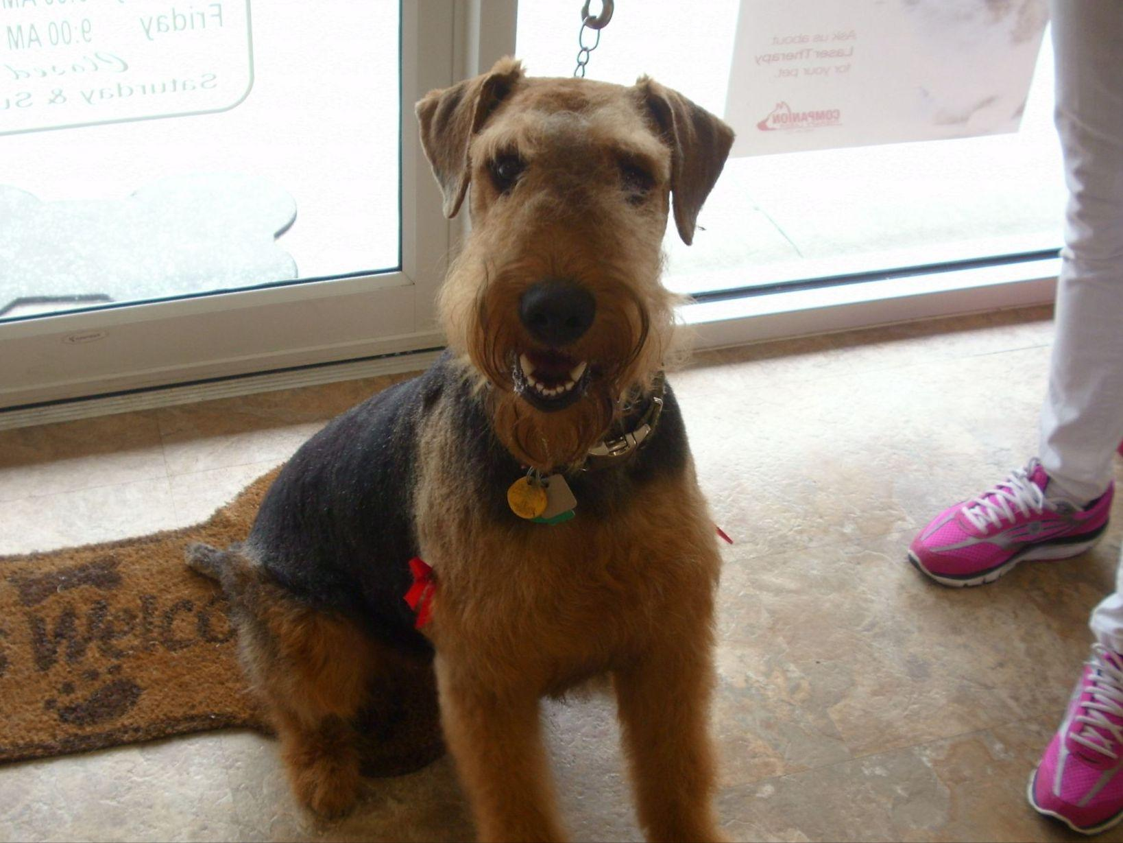 airedale terrier puppies for sale near eden  north carolina