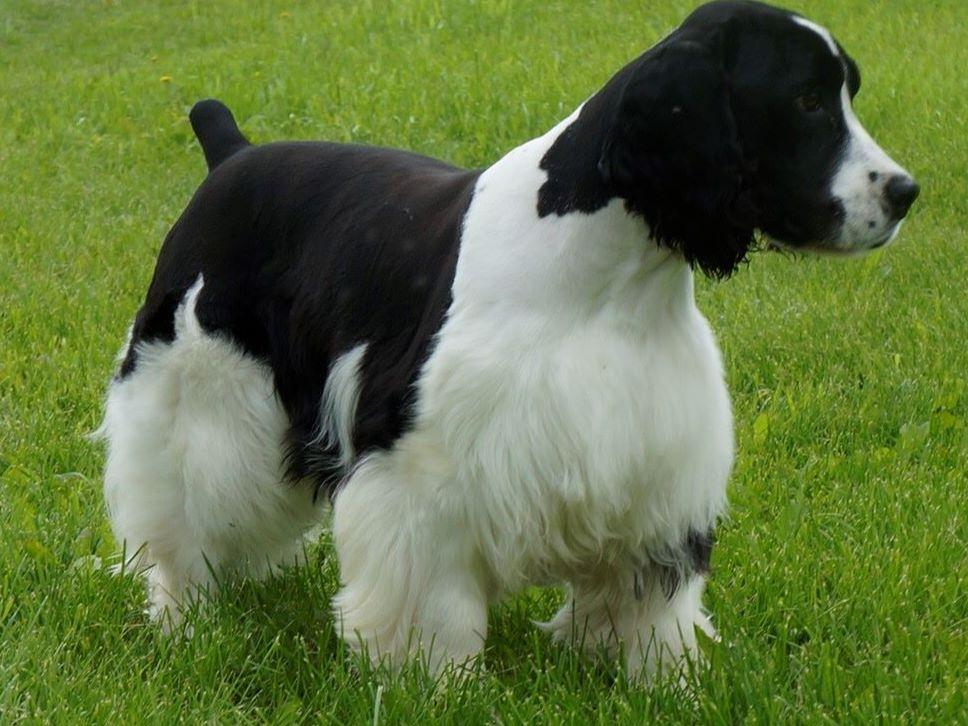 english springer spaniel for sale by country pride