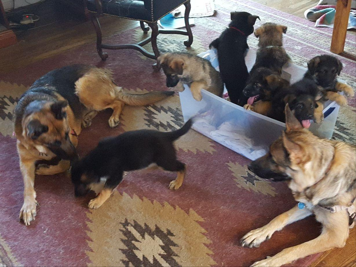 German Shepherd Dog Puppies For Sale Page 4 Akc Marketplace