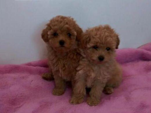 Poodles For Sale In Va Beach