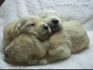 Golden Retrievers puppies