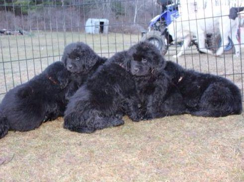 Newfoundlands puppies