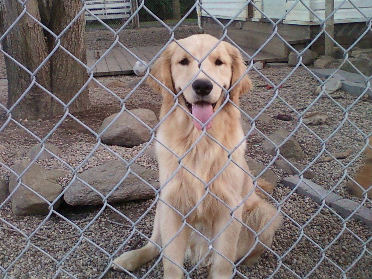 Golden retriever puppies for sale in cleveland ohio