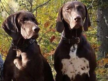 German Shorthaired Pointers puppies