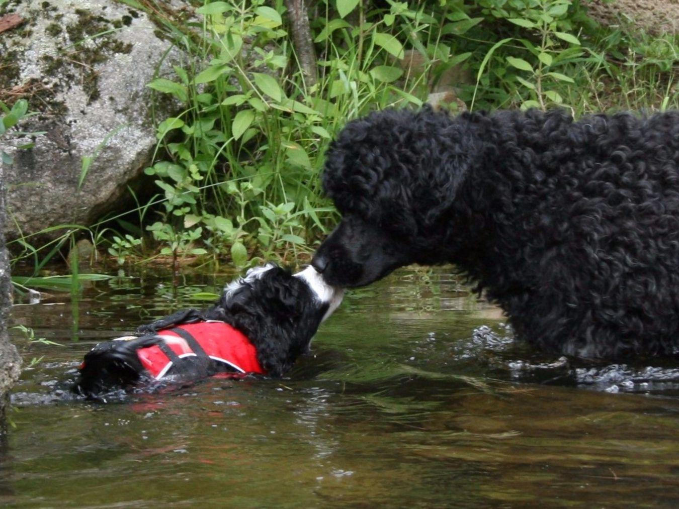 Portuguese Water Dog For Sale By Saltydawg Portuguese