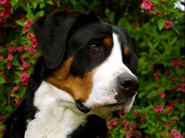 Greater Swiss Mountain Dogs puppies
