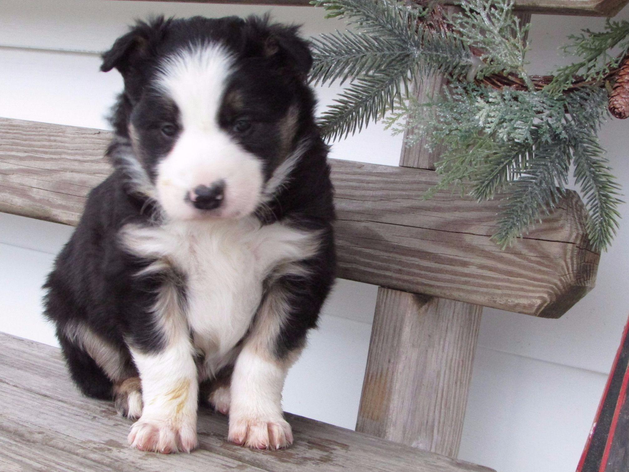Border Collie Puppies For Sale Akc Marketplace