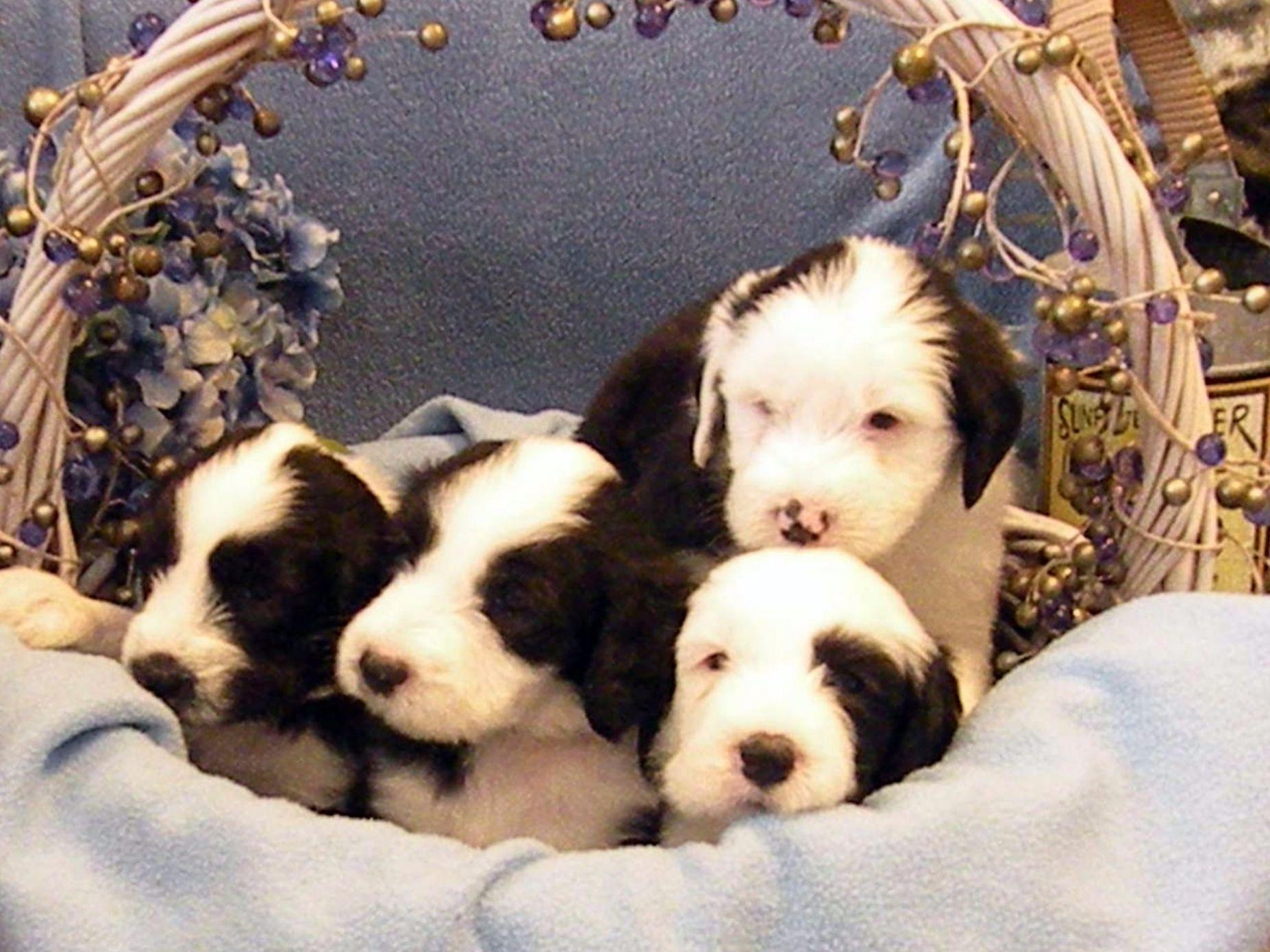 Old English Sheepdogs puppies