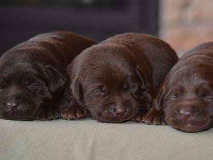 "Labrador Retriever For Sale by English Lab Puppy ""Family ..."