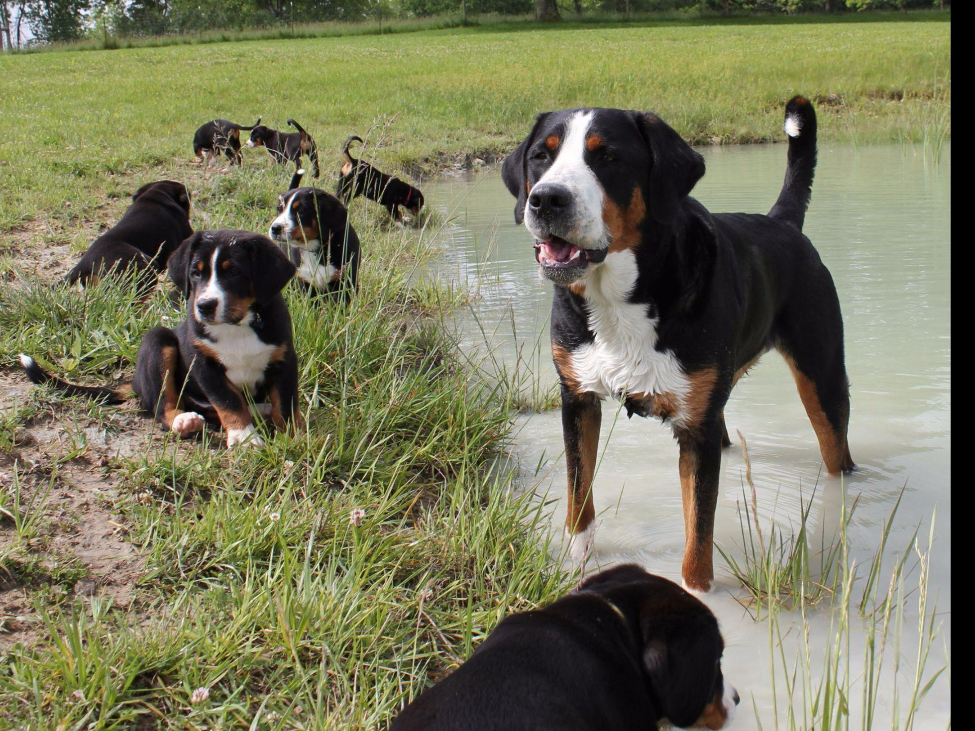 Cherished Greater Swiss Mountain Dogs - Greater Swiss ...