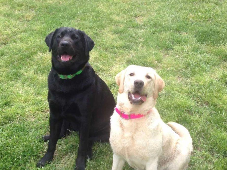Labrador Retriever puppies for sale near Mc Clure, Pennsylvania - AKC ... Xoloitzcuintli For Sale In California