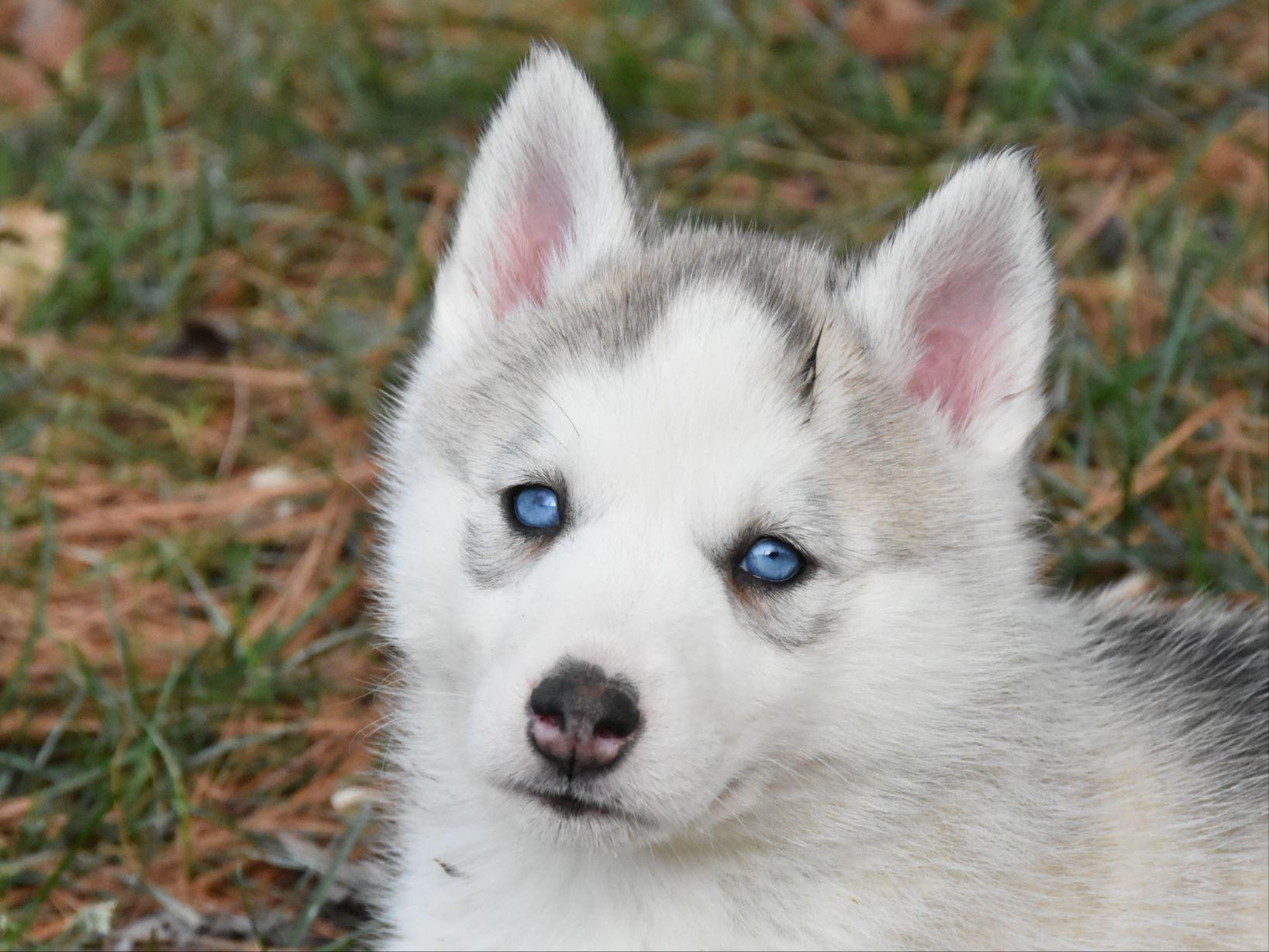 Similiar Siberian Husky Kennel Club Keywords
