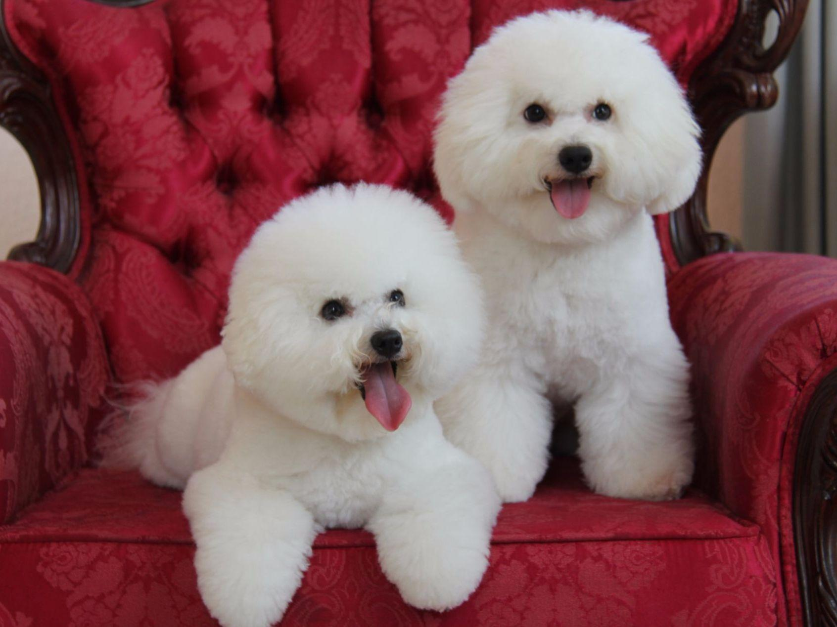 home kennel design with Bichon Frise Puppies On Akc Registered Bichon Frise Puppies Home on Natan Gallery together with Holte Mayfield Glulam Atrium Canopy in addition 29 in addition Cat Furniture Design Ideas also Backyard Dog House Ideas.