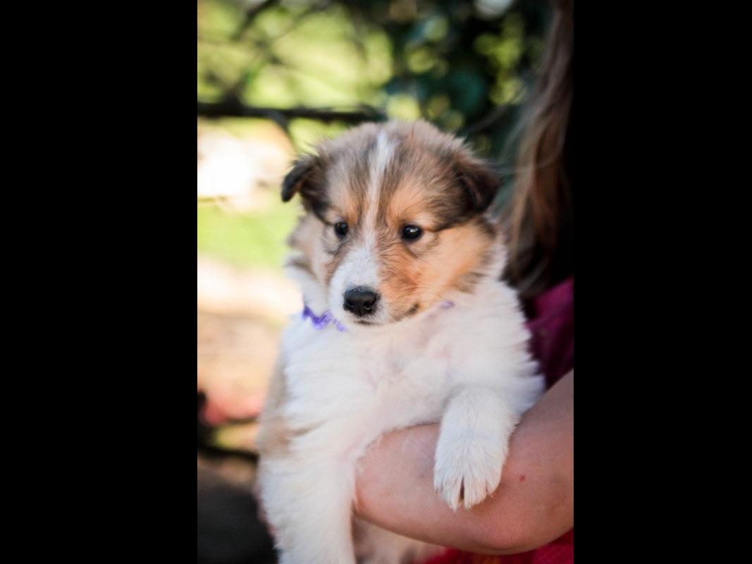 Collies puppies