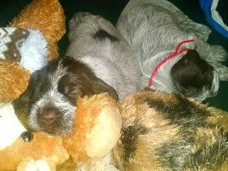 Wirehaired Pointing Griffons puppies