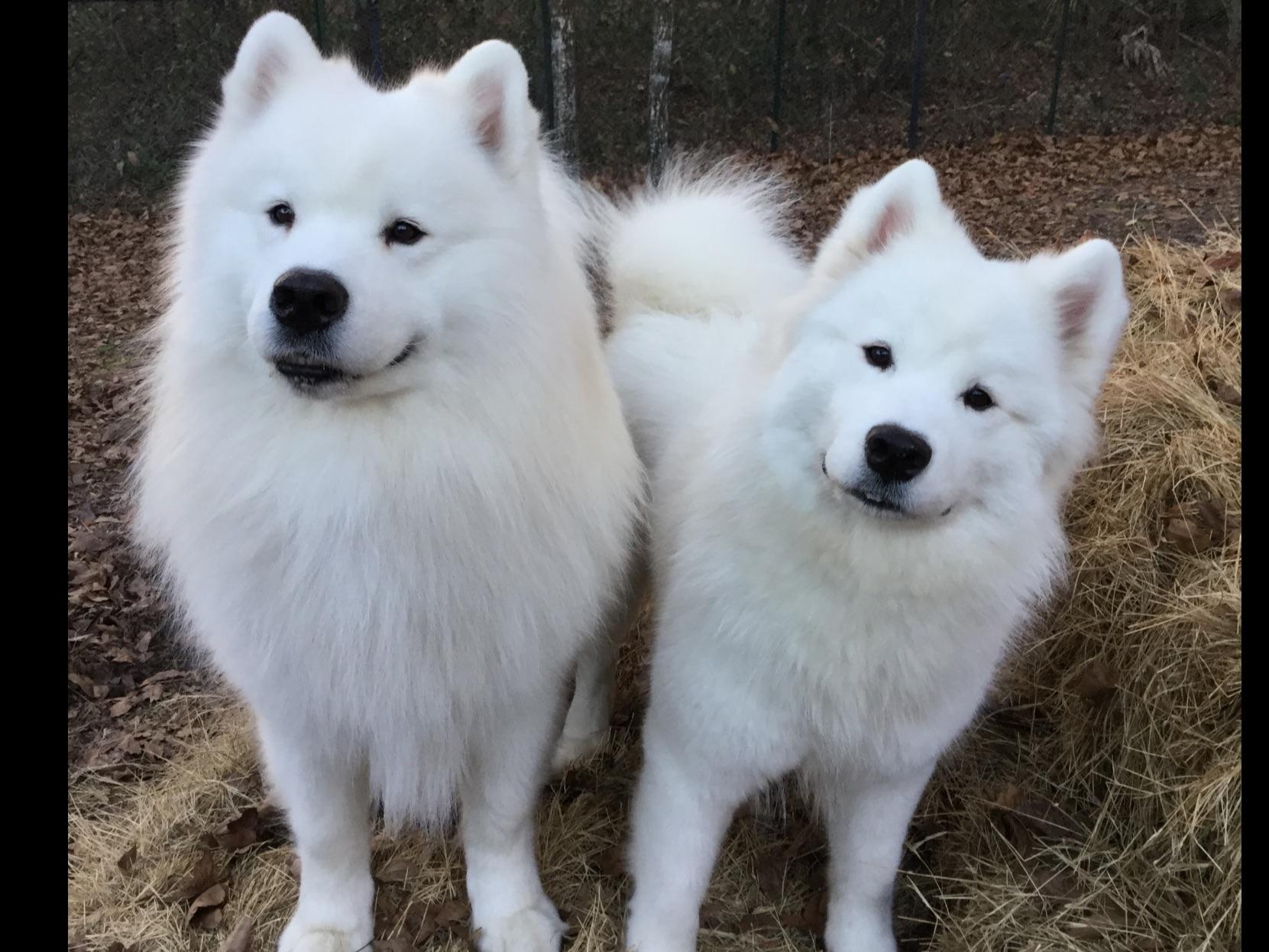 Samoyed For Sale by Wh...