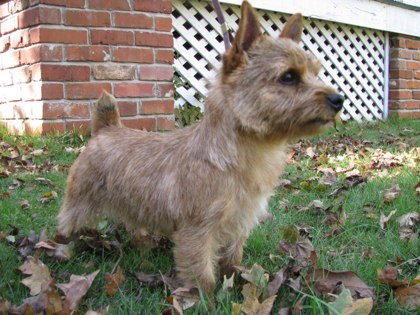 Norwich Terrier For Sa...