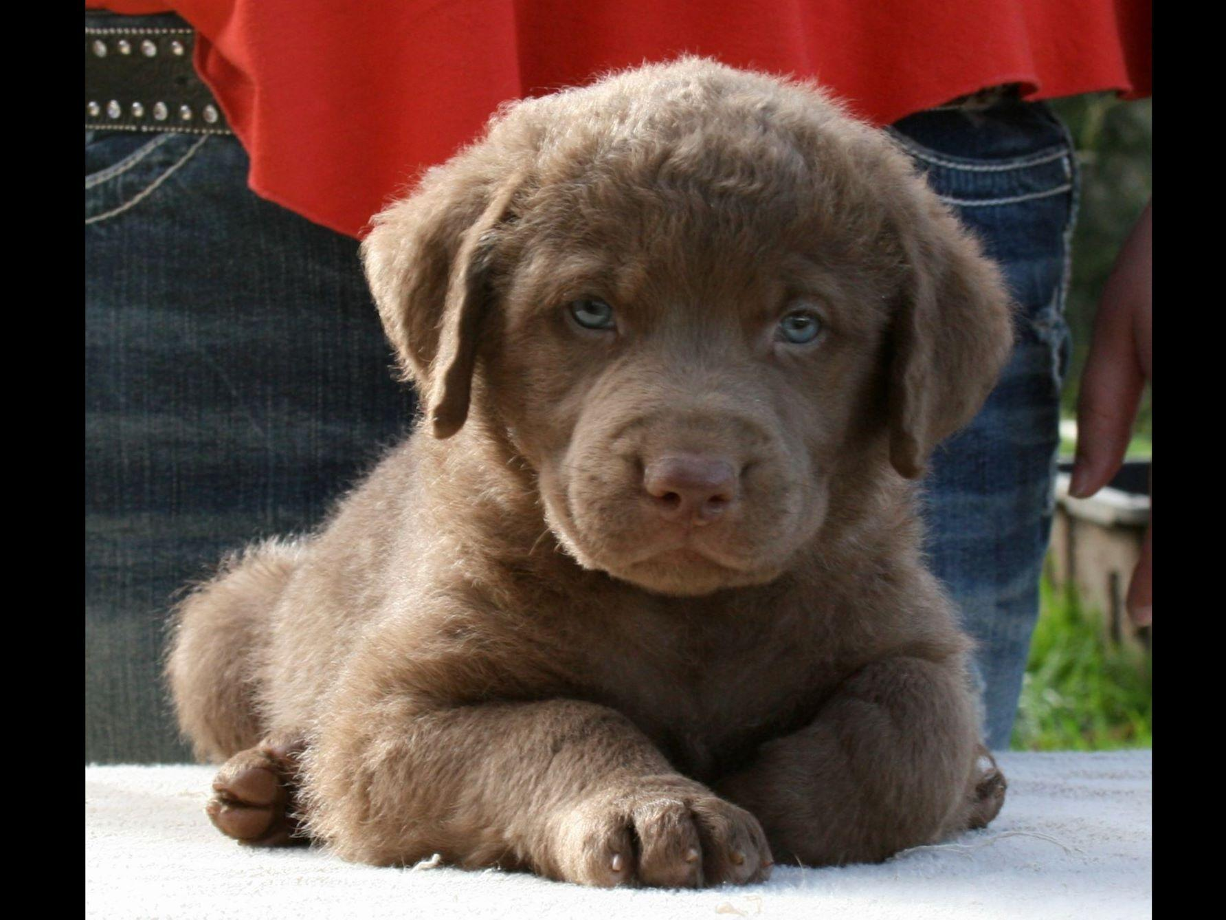 AKC Puppies For Sale I...