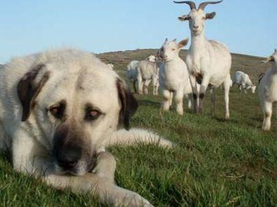 Anatolian Shepherd Dogs puppies