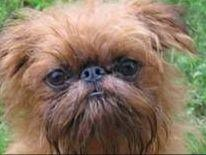 Brussels Griffons puppies