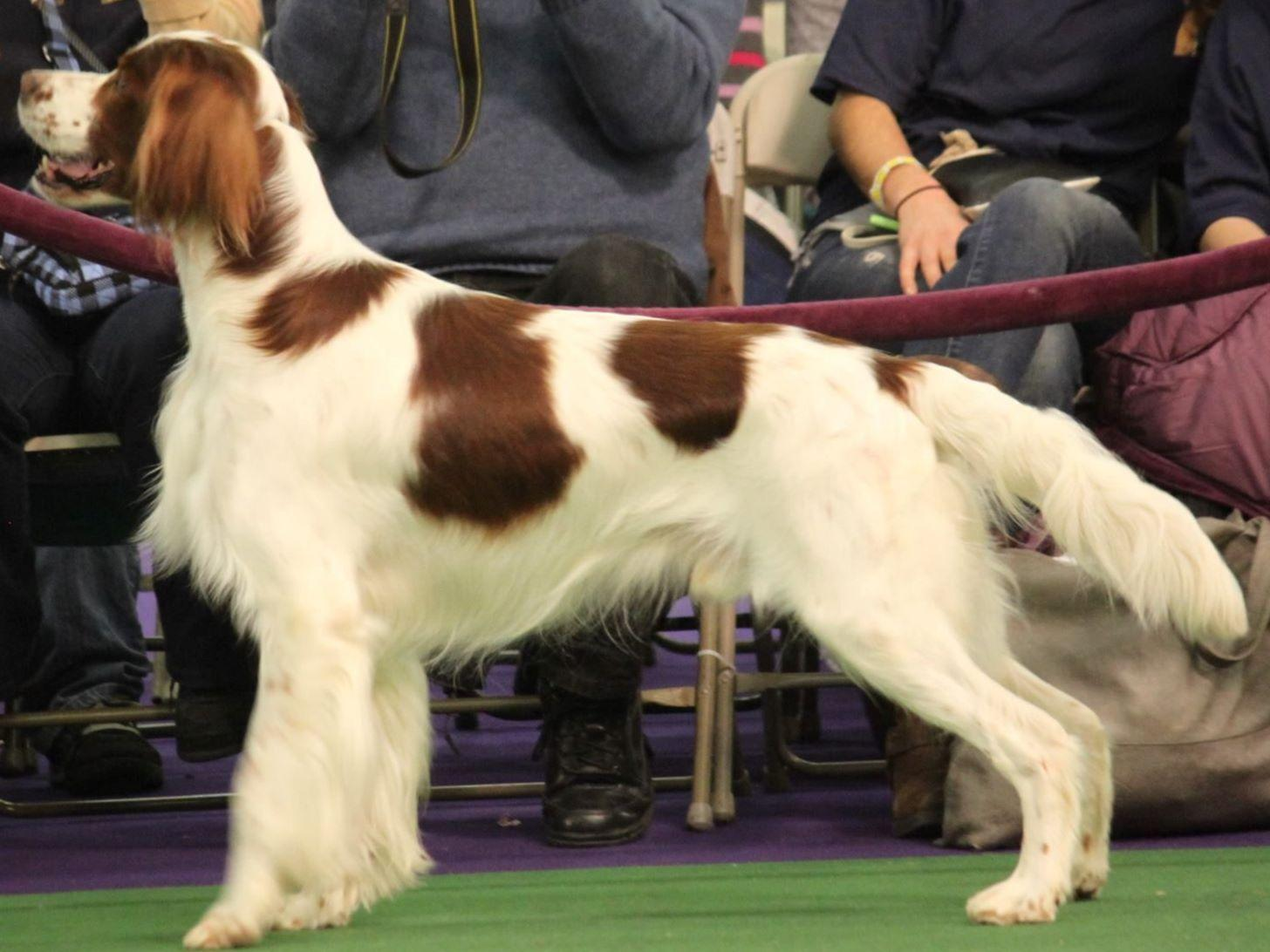 Irish Red and White Setter For Sale by Debra Peterson ...