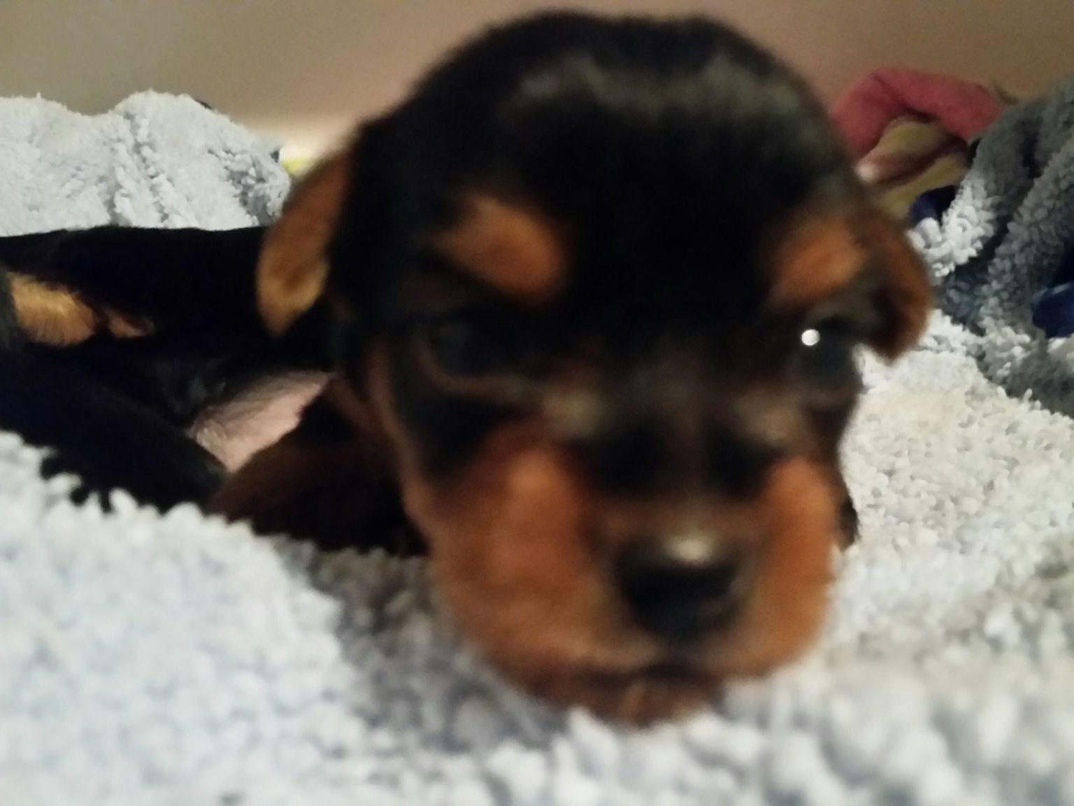 Yorkshire Terrier puppies for sale near Gig Harbor, Washington - AKC ... Xoloitzcuintli For Sale In California
