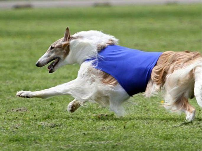 Borzoi puppies