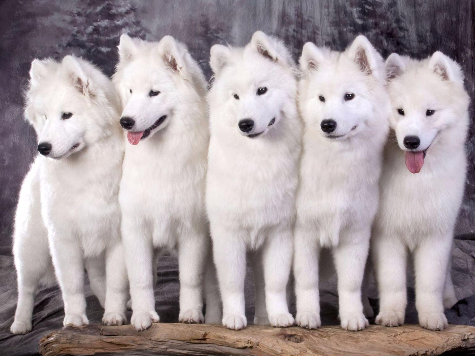 Samoyeds puppies
