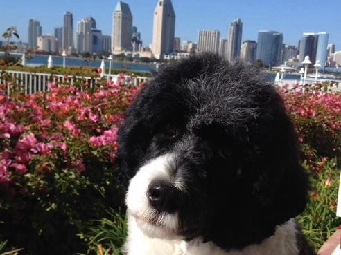 Portuguese Water Dog For Sale In Ct