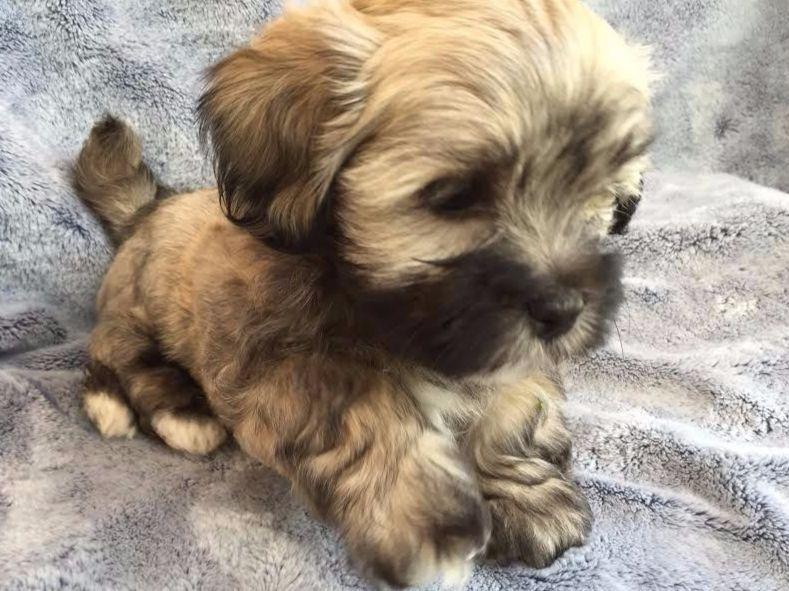 Havanese puppies for sale akc marketplace