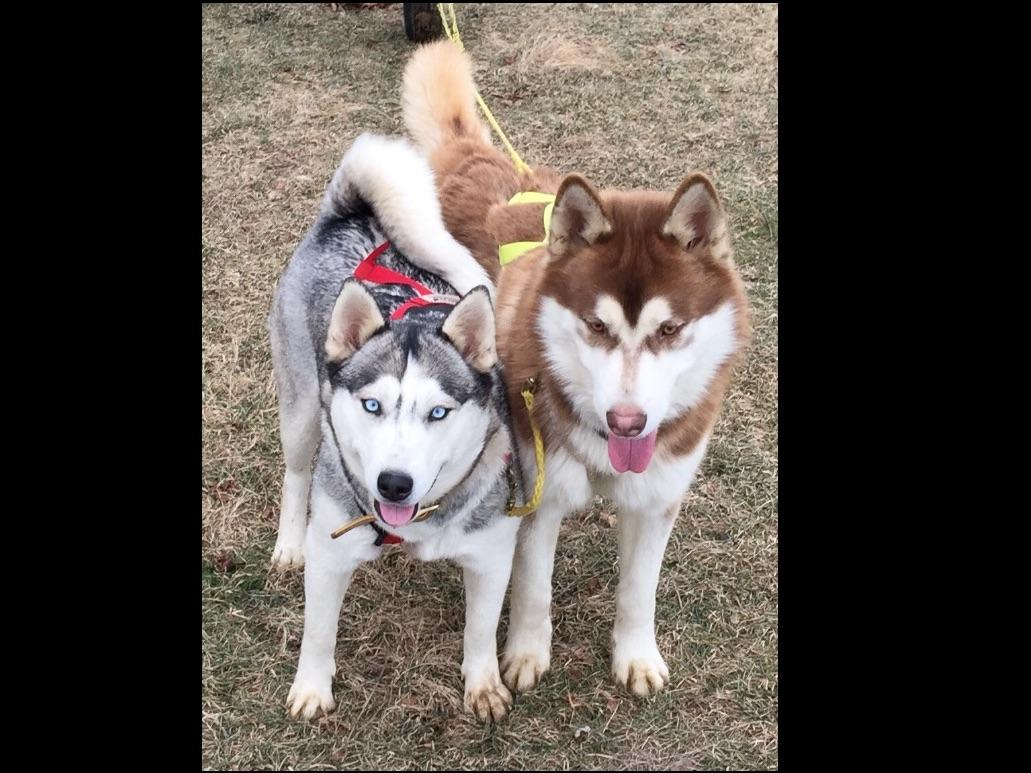 Siberian Husky For Sale by James Middlesworth - American ...