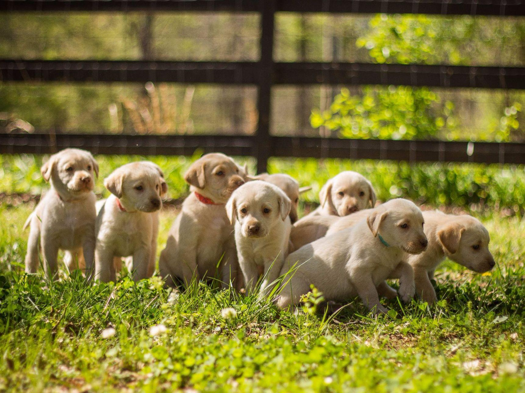 AKC Puppies For Sale In Georgia - Page 5 - AKC Marketplace