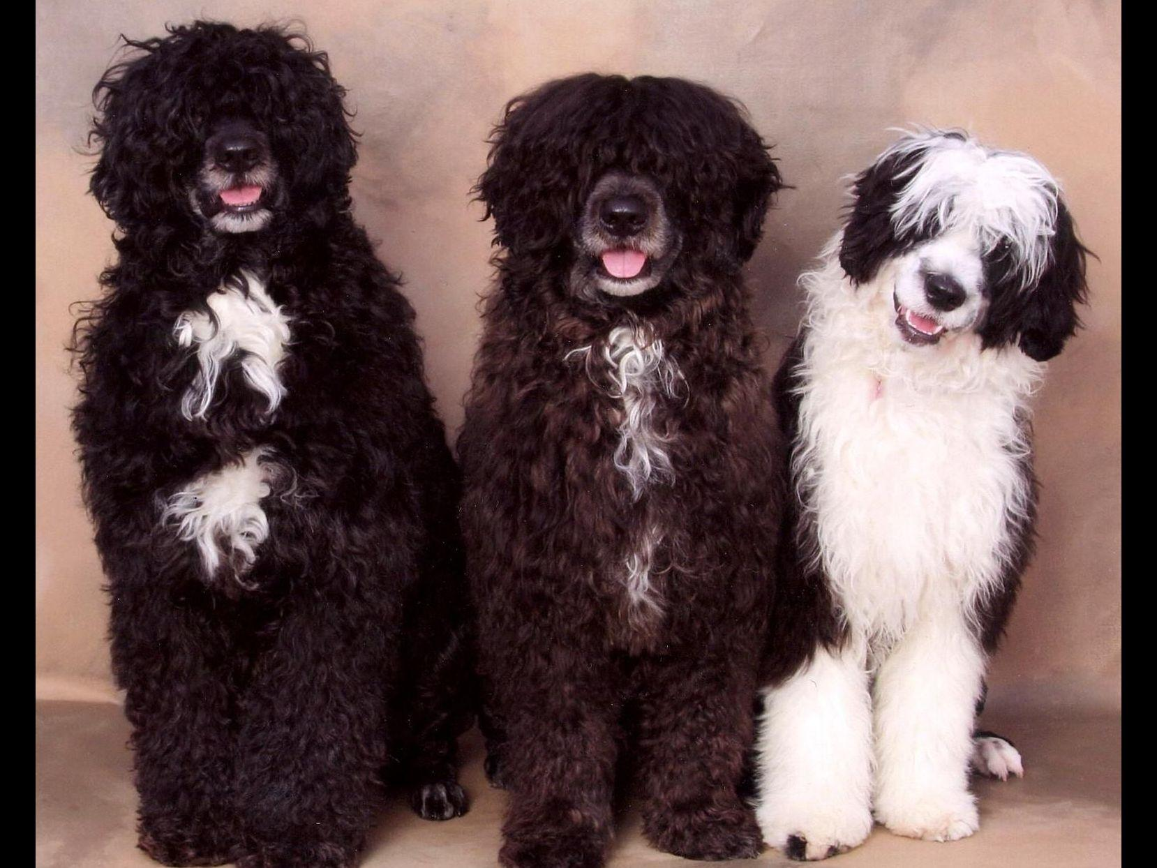 Portuguese Water Dogs puppies
