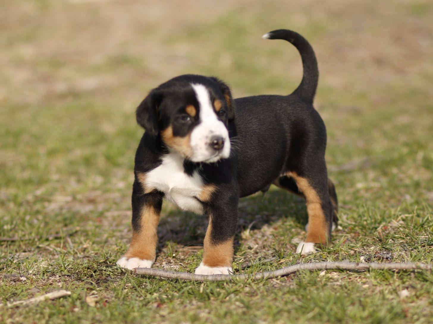 Greater Swiss Mountain Dog For Sale by PETER KELLER ...