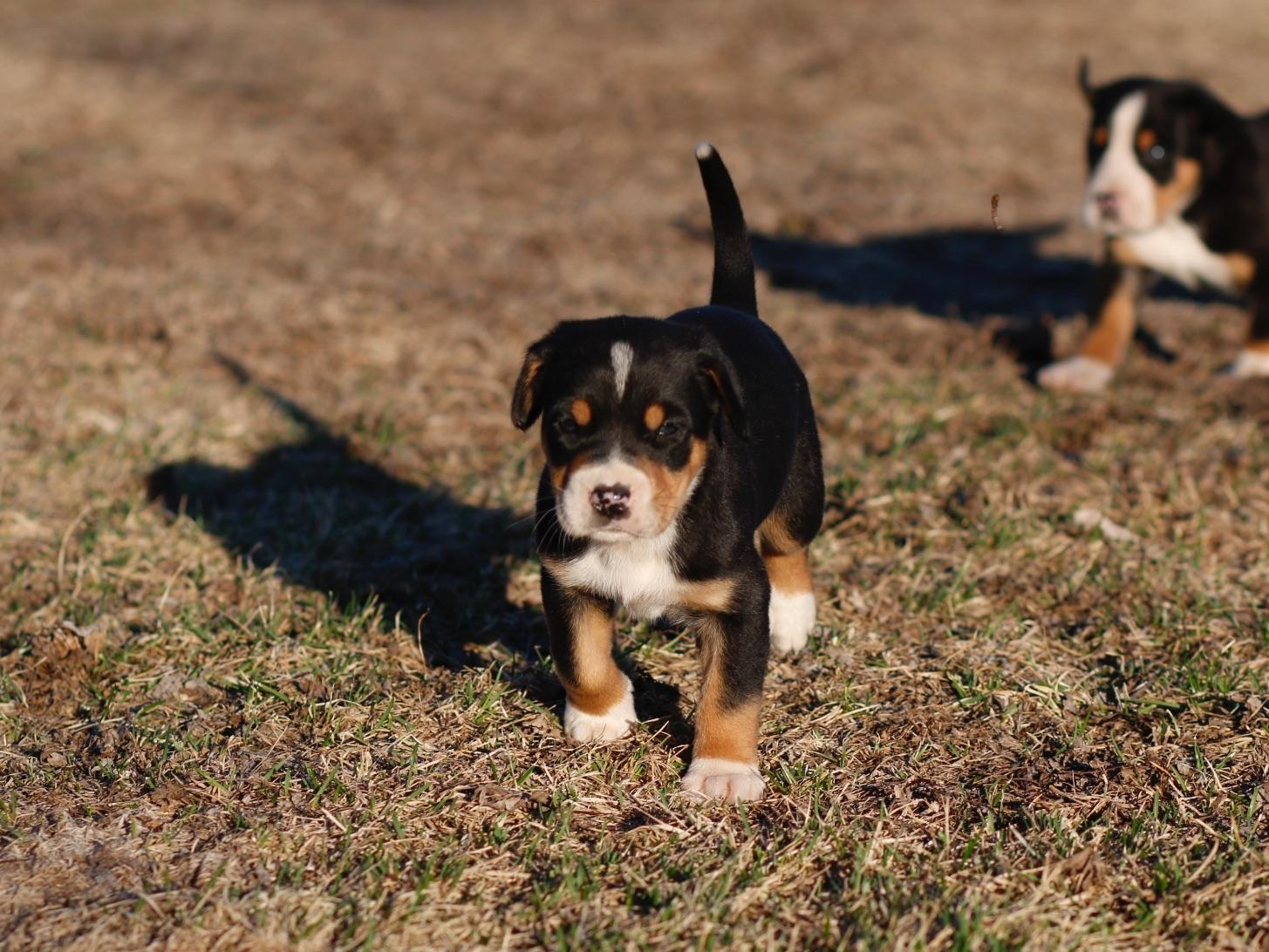 PETER KELLER - Greater Swiss Mountain Dog Puppies For Sale