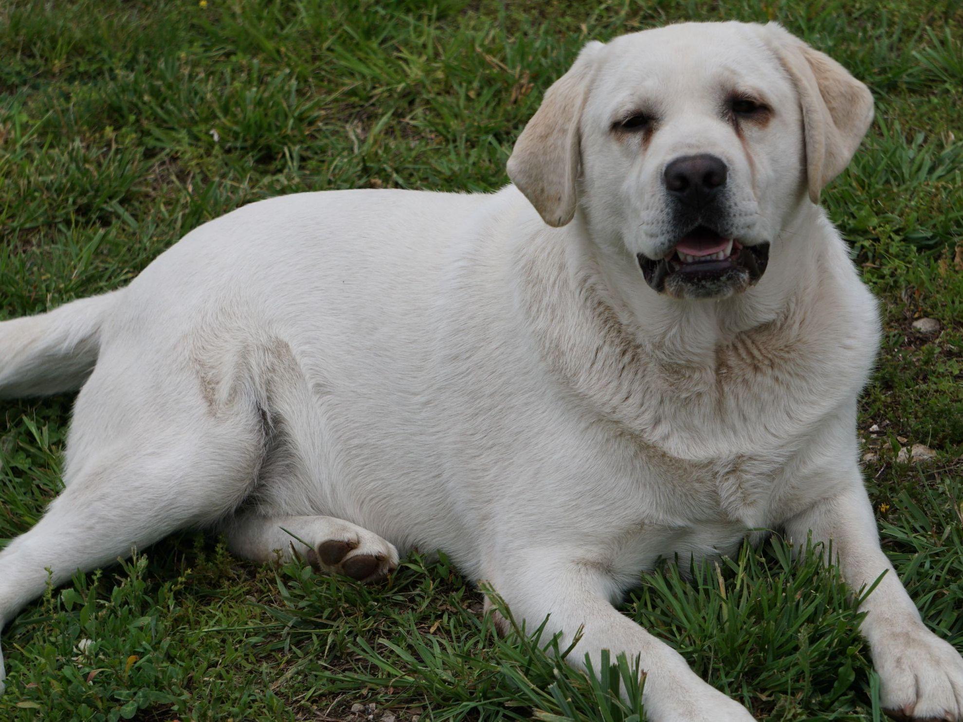 Labrador Retriever Puppies For Sale - $500 Each.