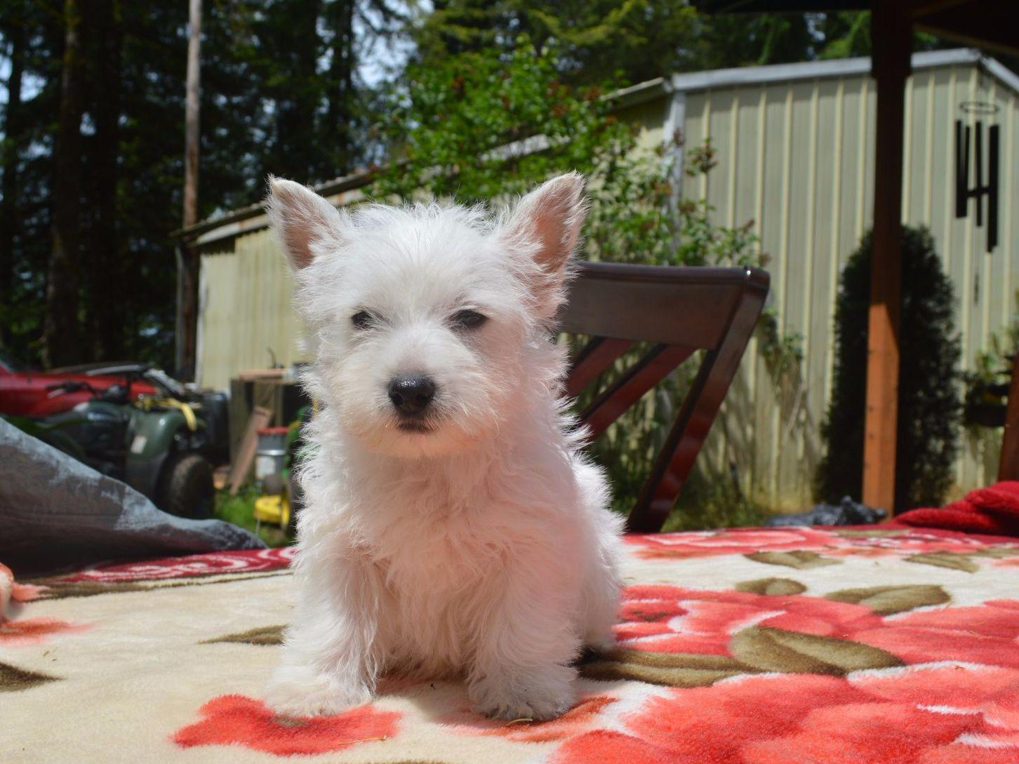 how to become a dog breeder wa