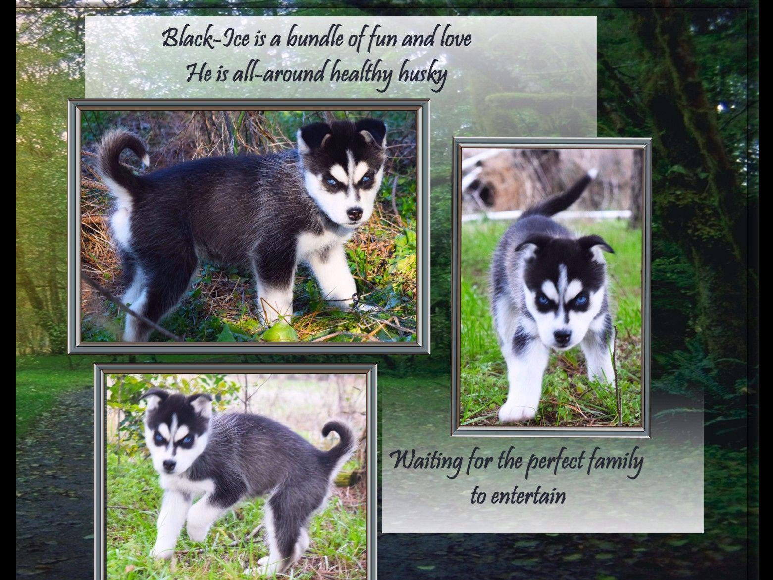 Siberian Husky For Sale by Siberia Husky Kennel - American ...