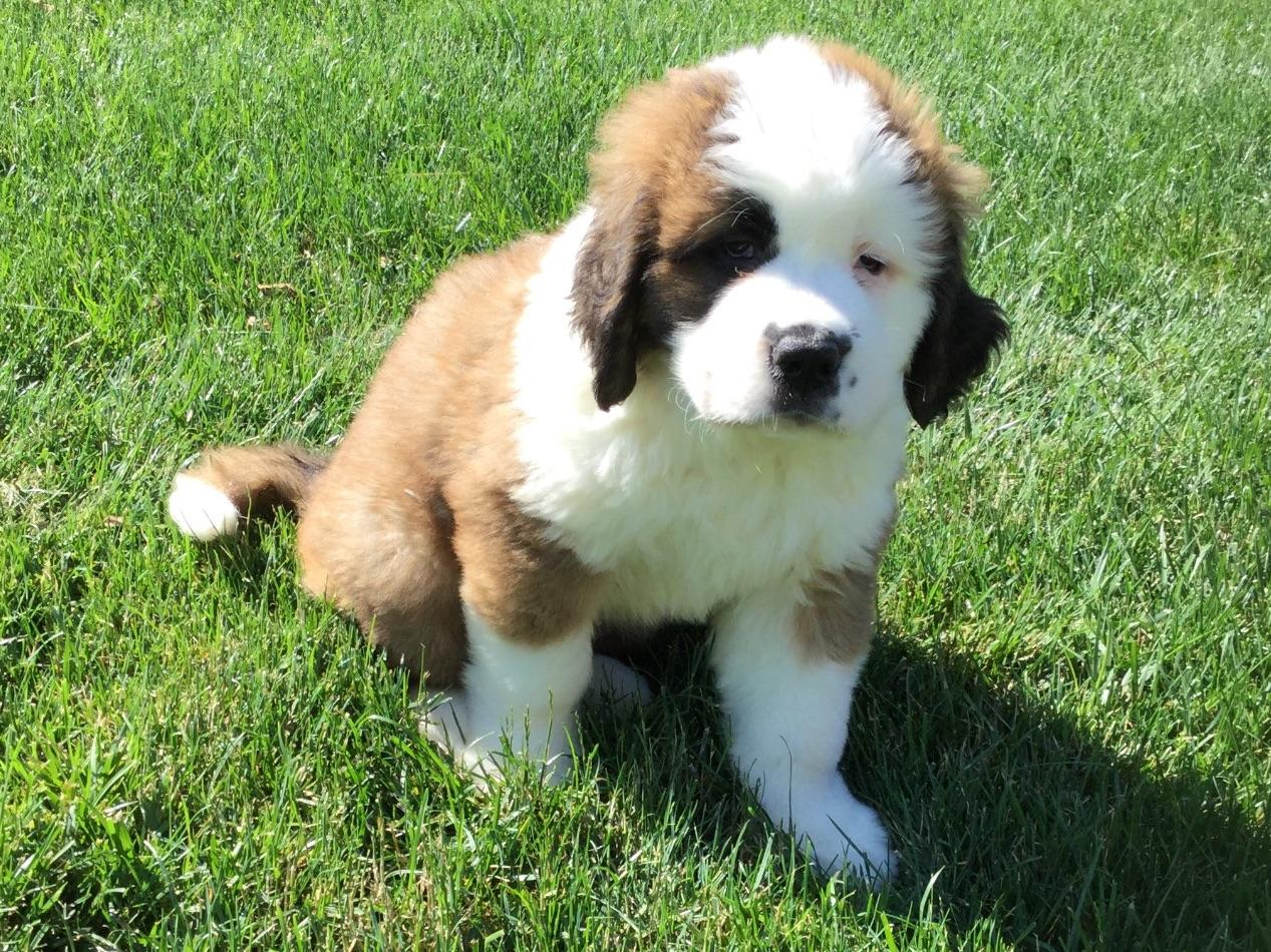 St. Bernard For Sale by Alvin Horning - American Kennel Club