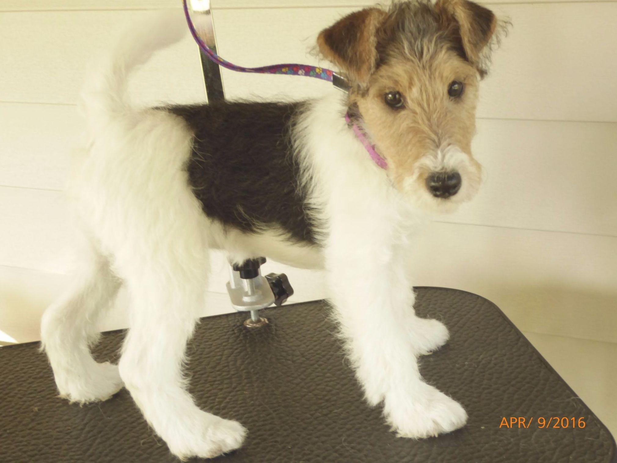 Wire Fox Terriers puppies