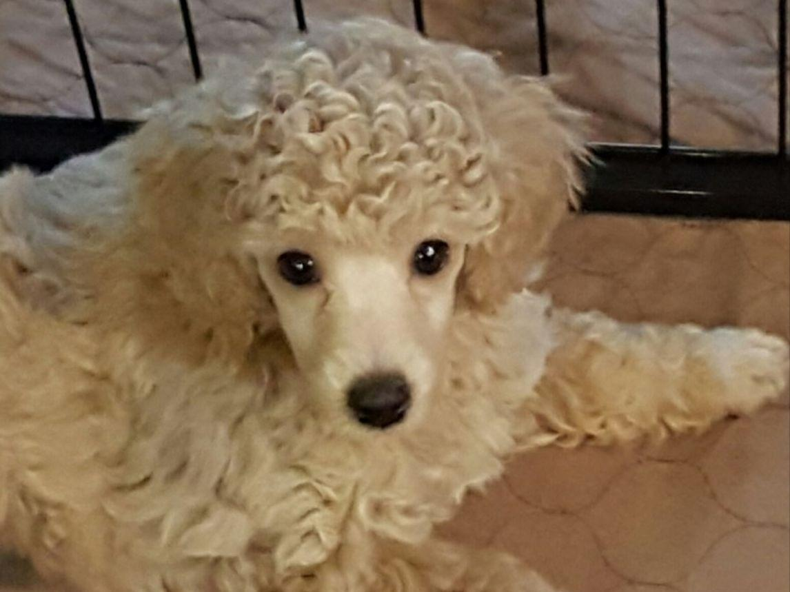 Platinum tea cup poodles for sale dog breeds picture - Juno As A Baby
