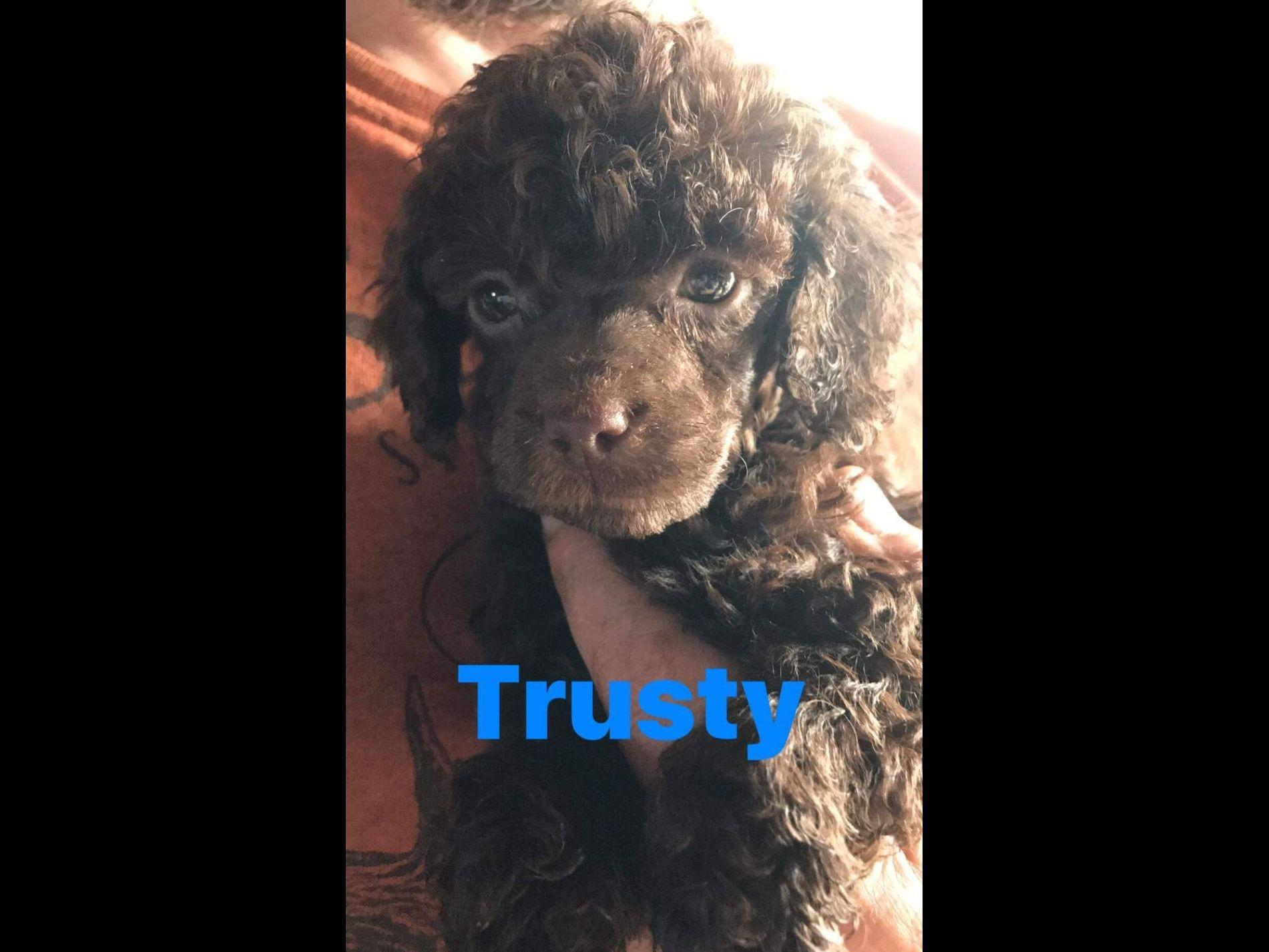 Platinum tea cup poodles for sale dog breeds picture - Trusty 5 Weeks