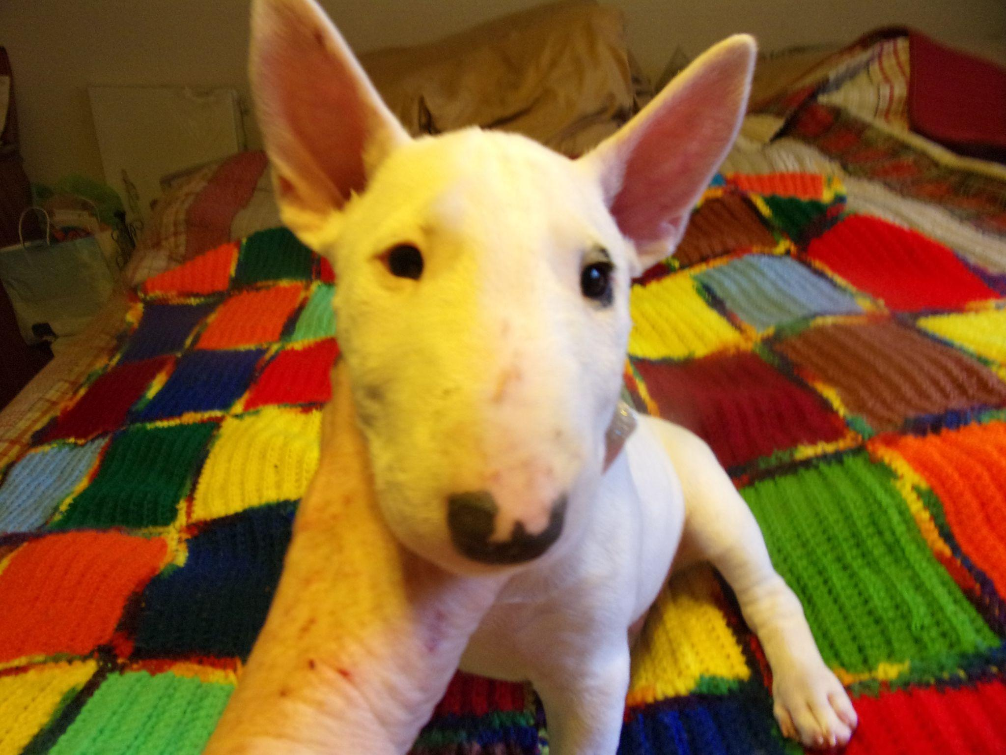 Miniature Bull Terriers puppies