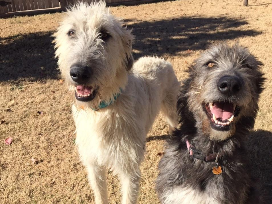 Irish Wolfhounds puppies