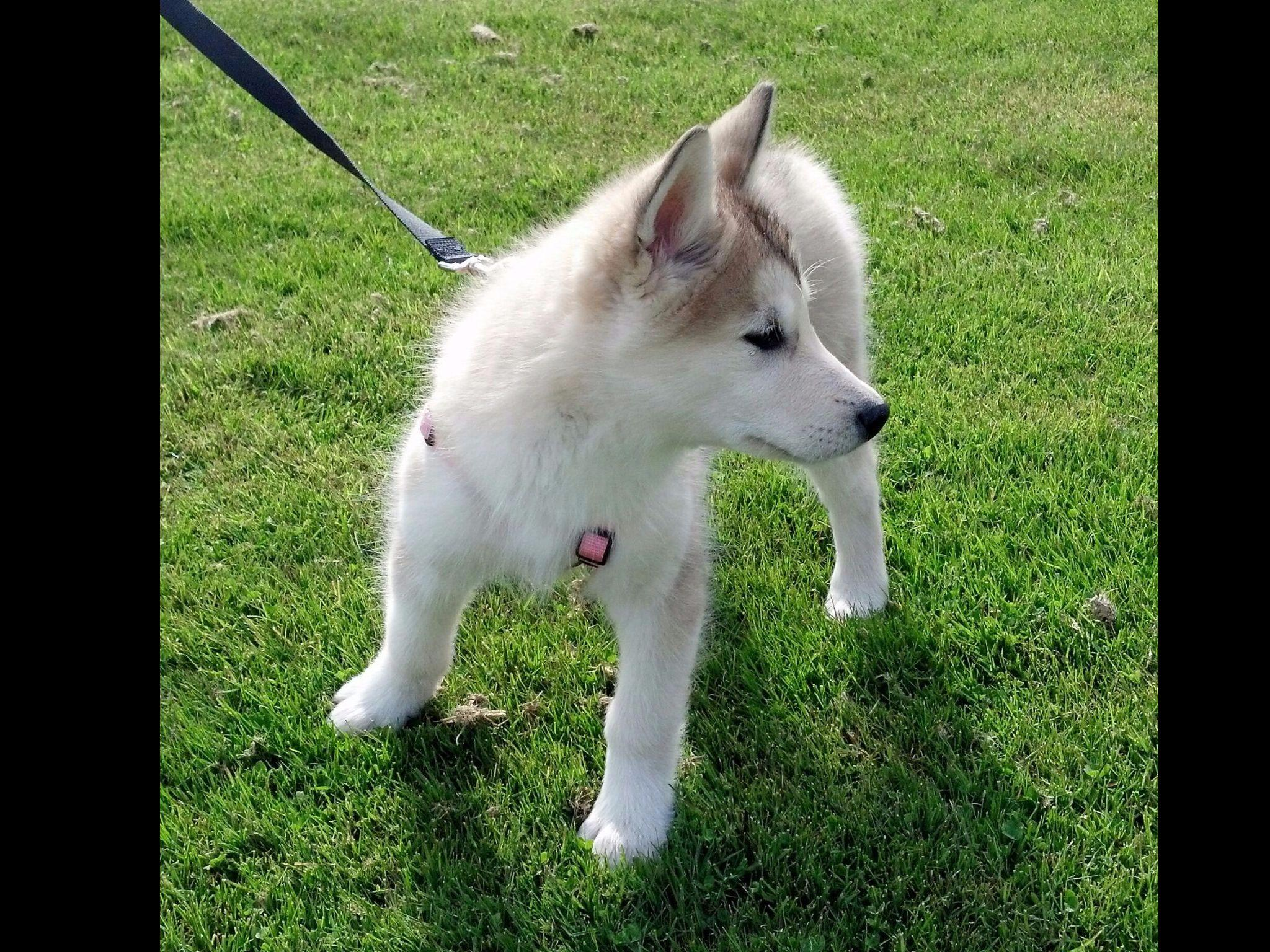Alaskan Malamutes puppies