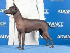 Xoloitzcuintli puppies