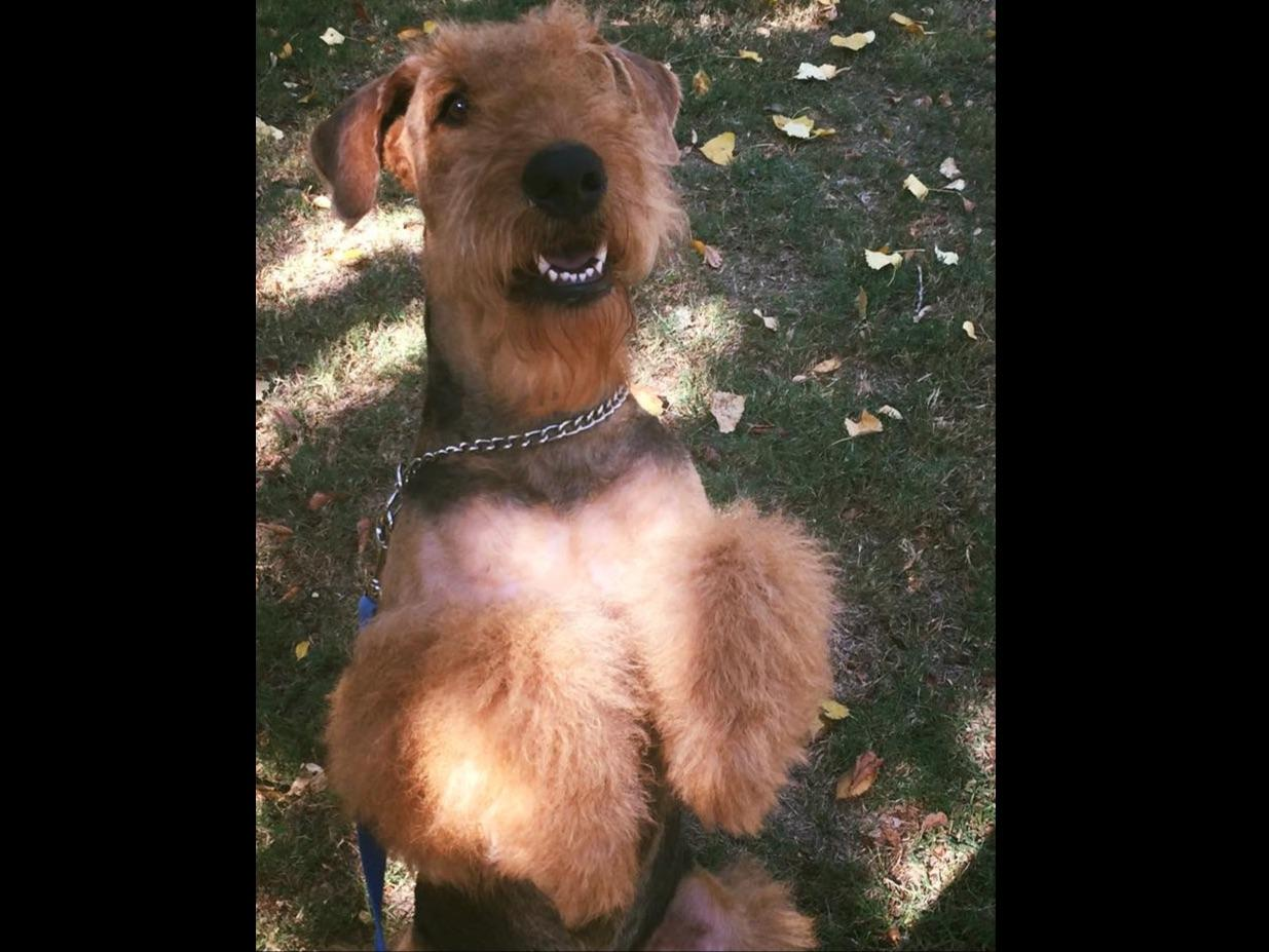 Airedale Terrier For Sale By Dogwooddales Airedale