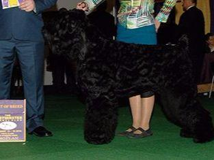 Black Russian Terriers puppies